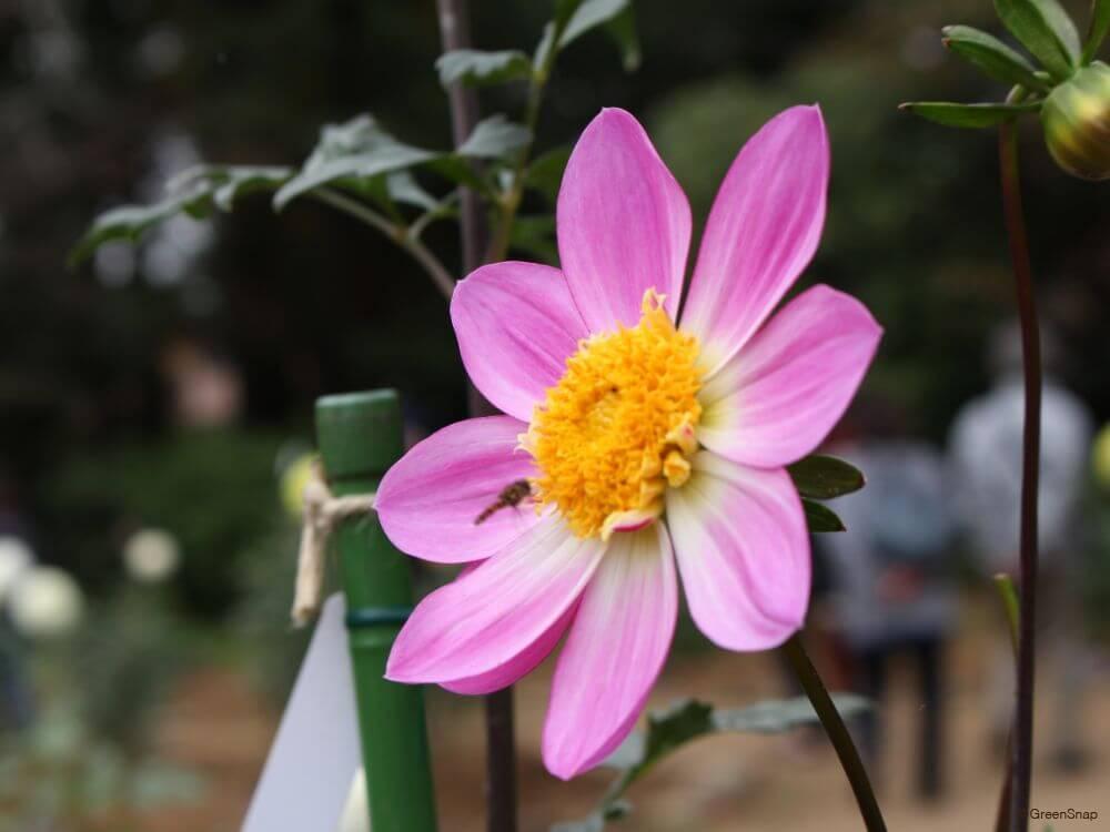 コラレット咲きダリア