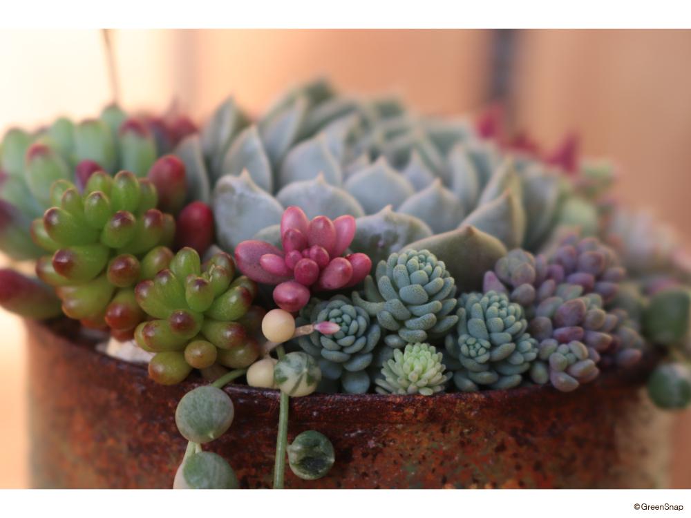 多肉植物 寄せ植え リメイク鉢
