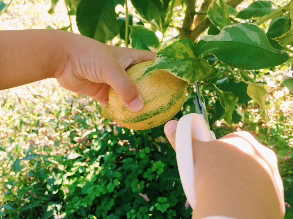 レモンの木 剪定