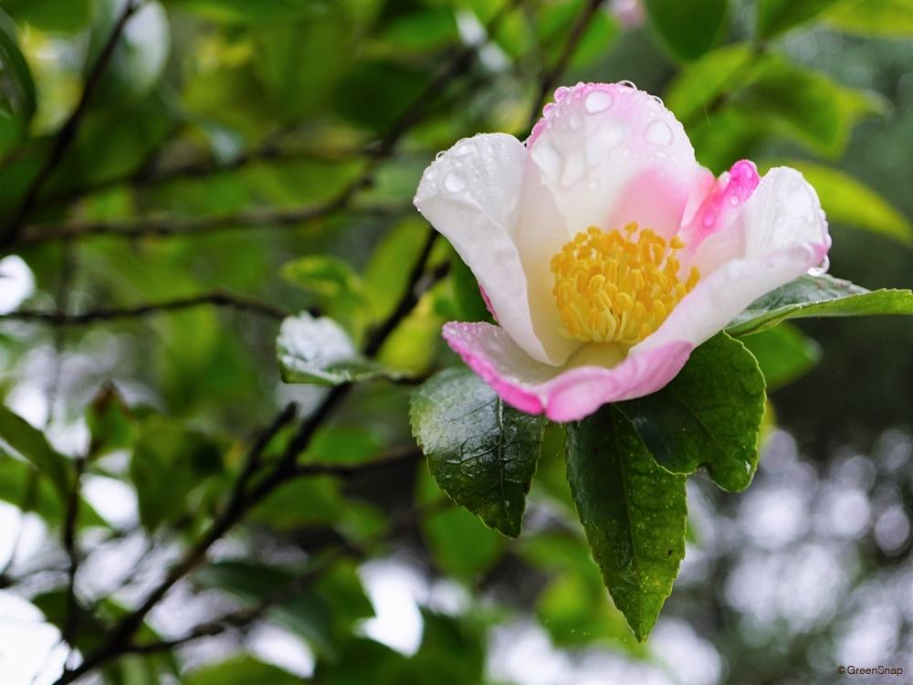 サザンカ 山茶花