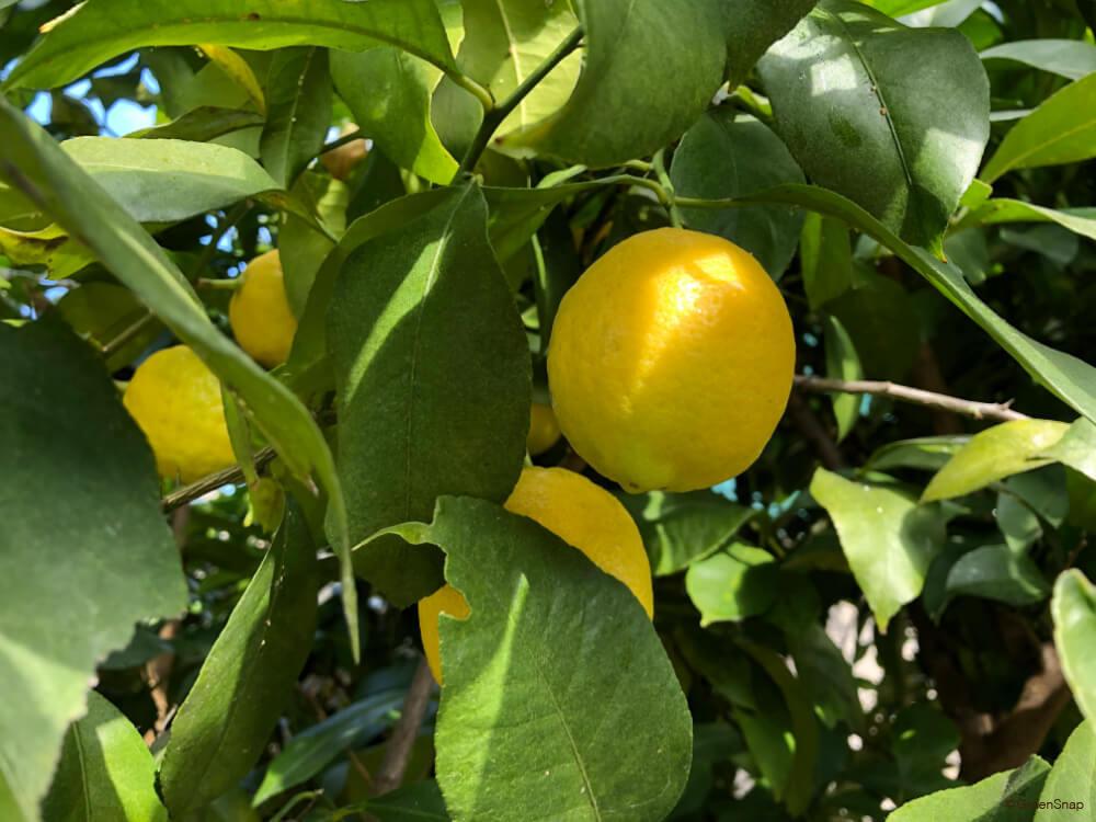 レモンの木 実