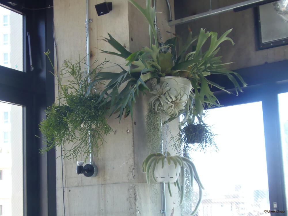 観葉植物 ハンギング コウモリラン チランジア