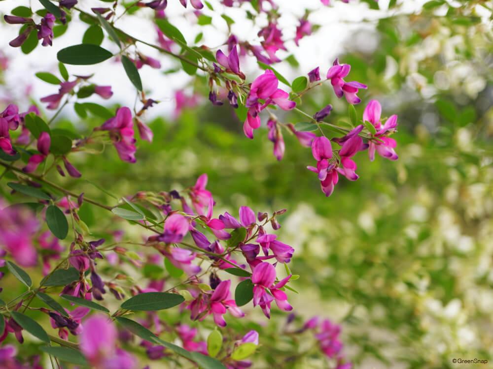 ハギ 萩 花