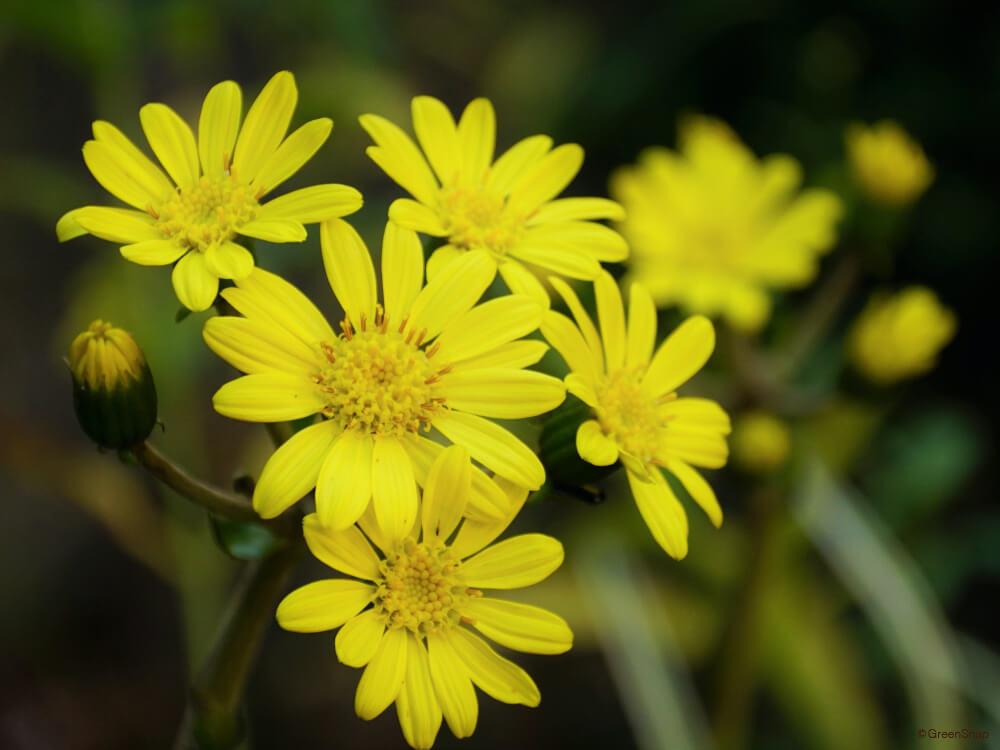 ツワブキ 石蕗 花