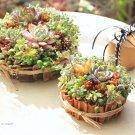 100均diy hanaの植物あそび バレンタイン 多肉植物