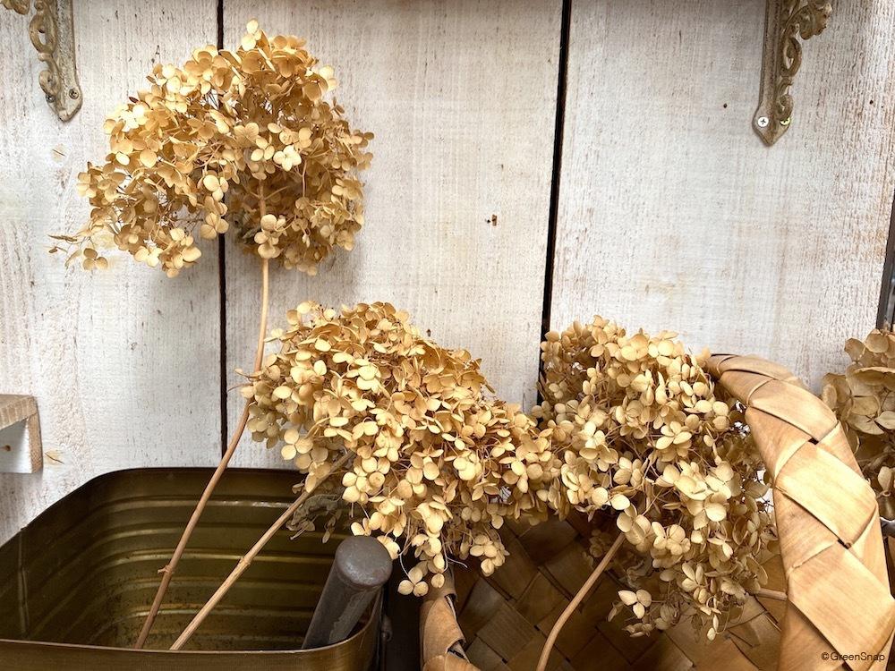 アジサイ 紫陽花 ドライフラワー