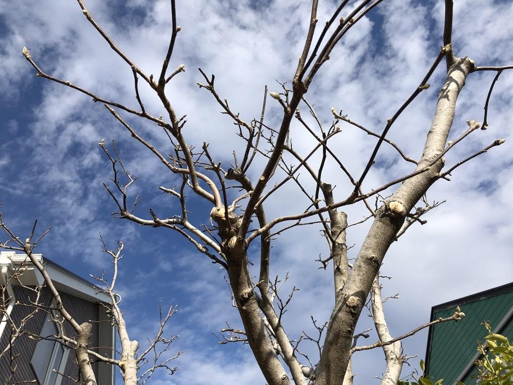 沙羅双樹 シャラノキ