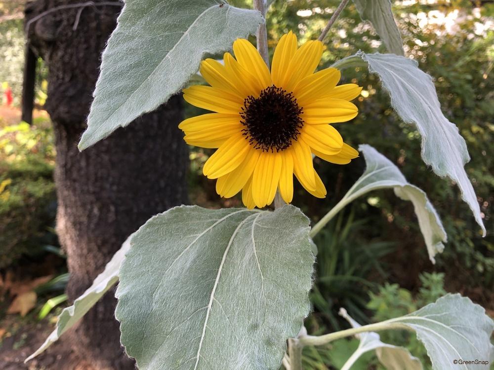 ヒマワリ ひまわり 向日葵 シロタエヒマワリ