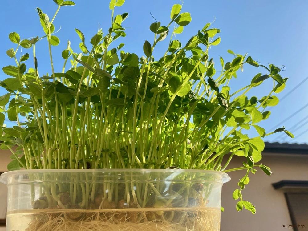 豆苗 水耕栽培