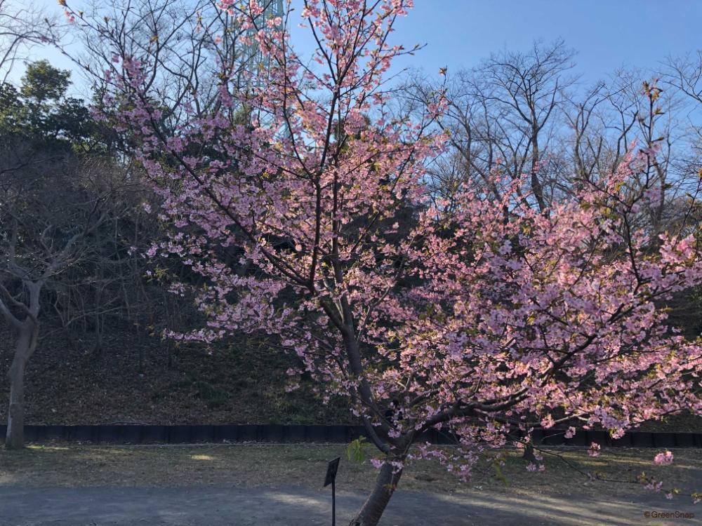 サクラ 桜