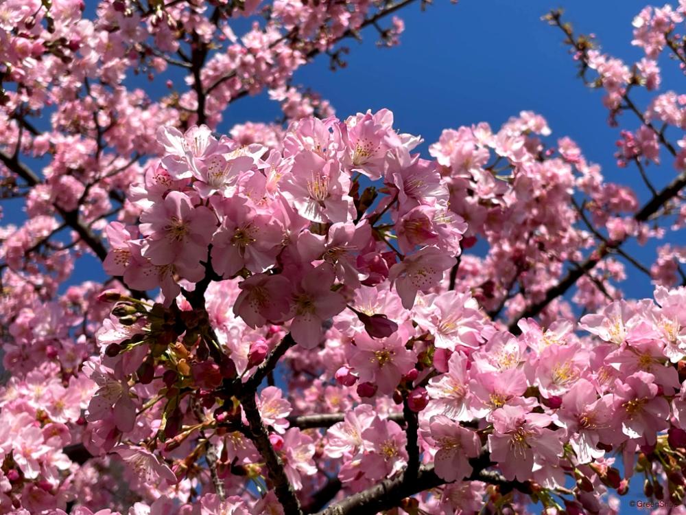 河津桜 カワヅザクラ