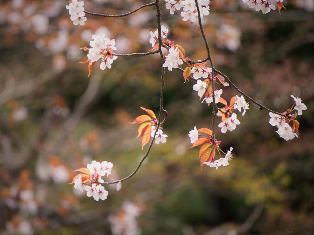 ヤマザクラ 山桜