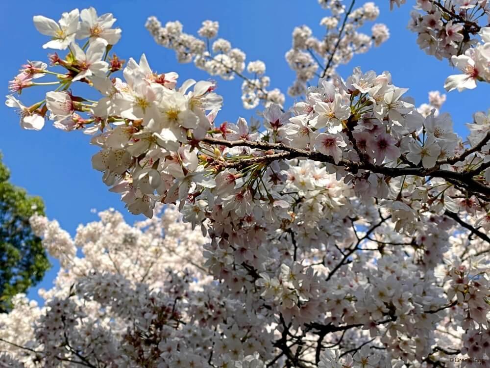 サクラ 桜 ソメイヨシノ
