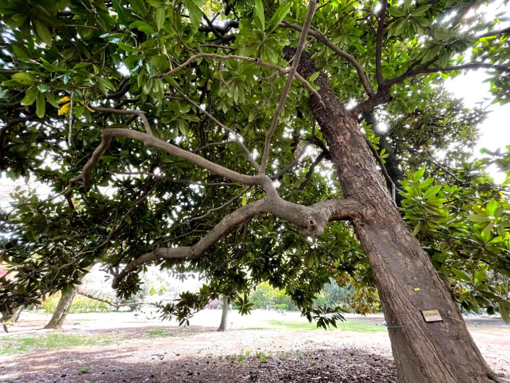タイサンボク 泰山木