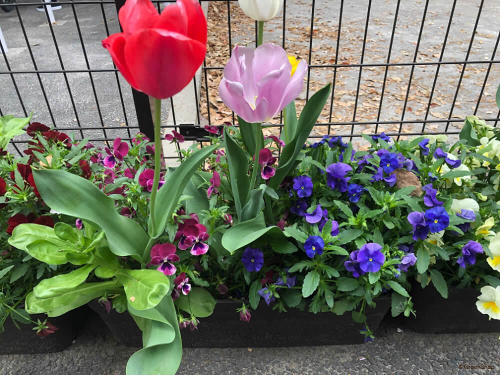 春の寄せ植え チューリップ・パンジー