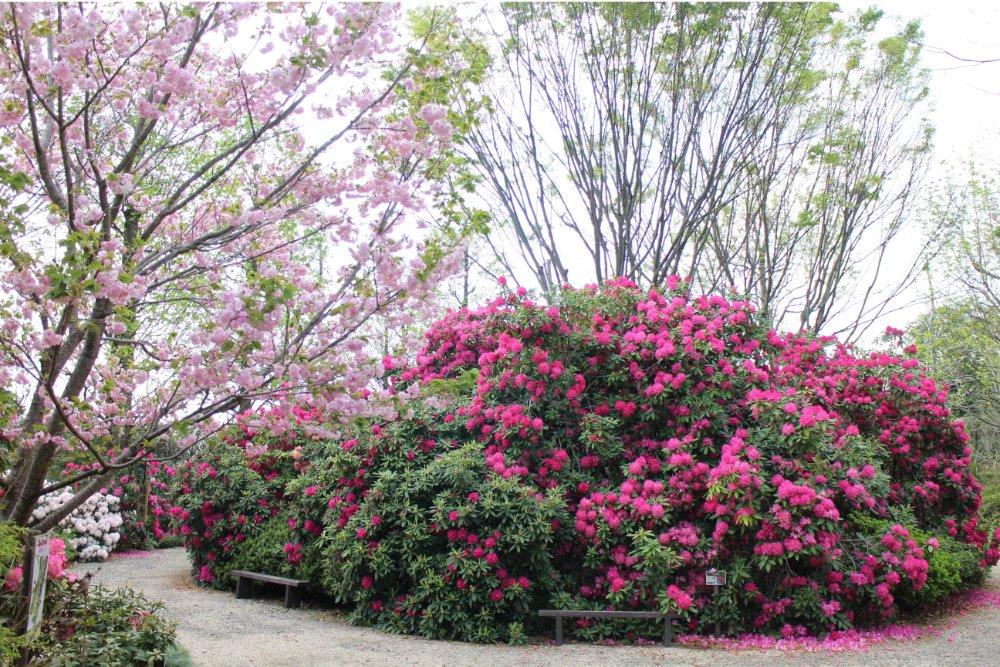 赤塚植物園 シャクナゲガーデン