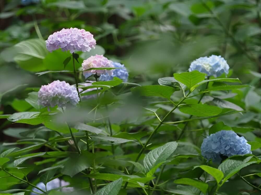 アジサイ あじさい 紫陽花