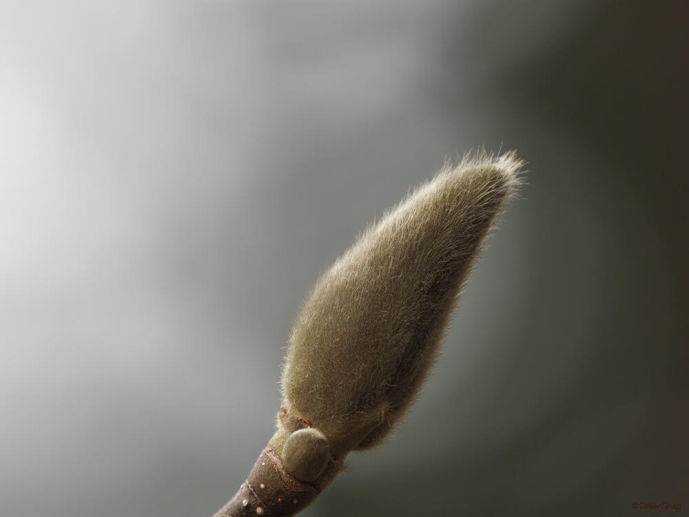 モクレン 木蓮 実