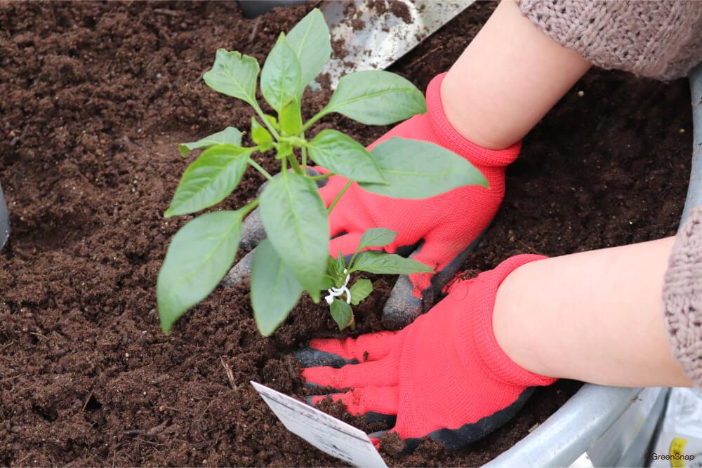 トウガラシ 苗の植え付け