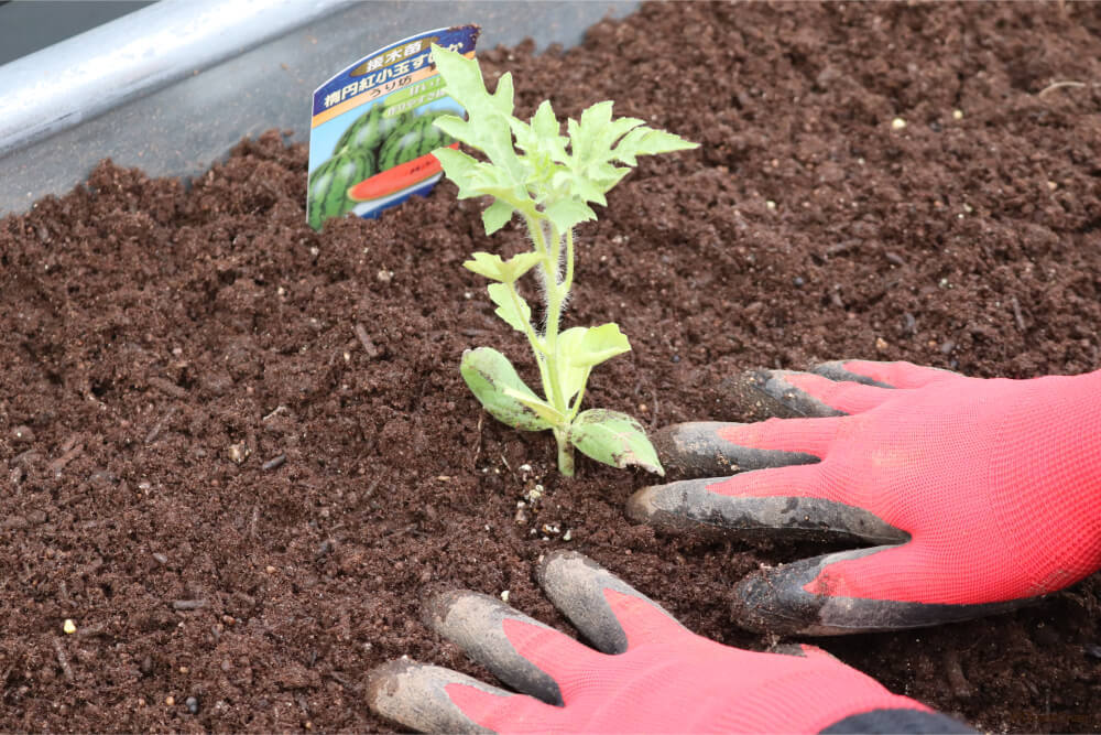 小玉スイカ 苗の植え付け