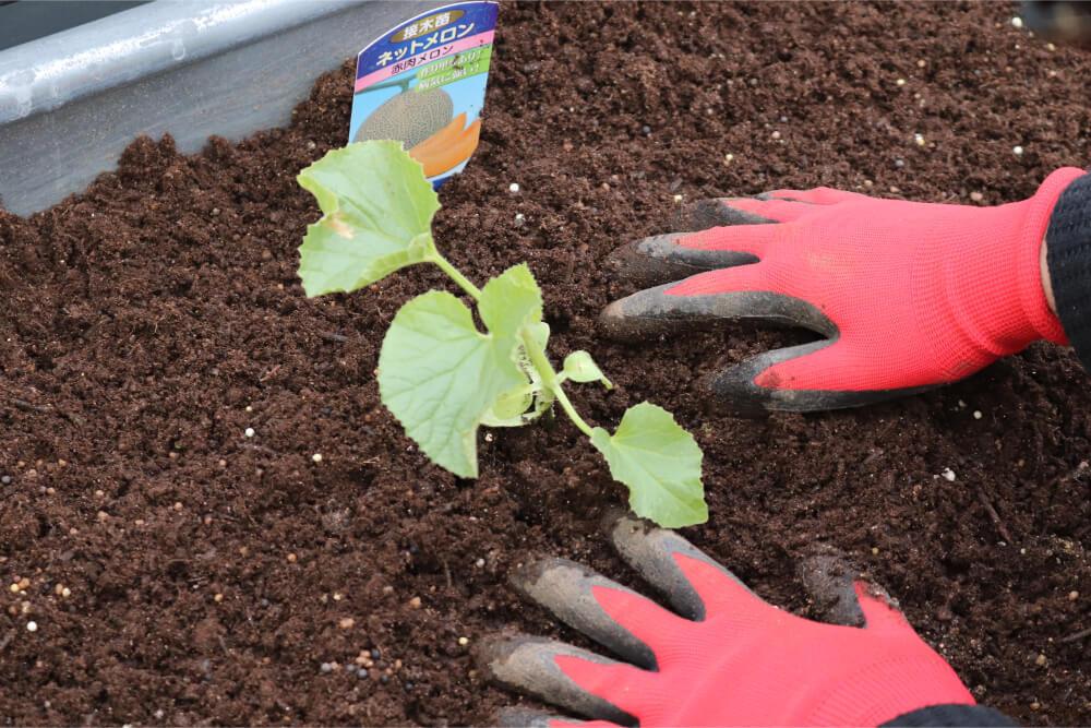 メロン 苗の植え付け