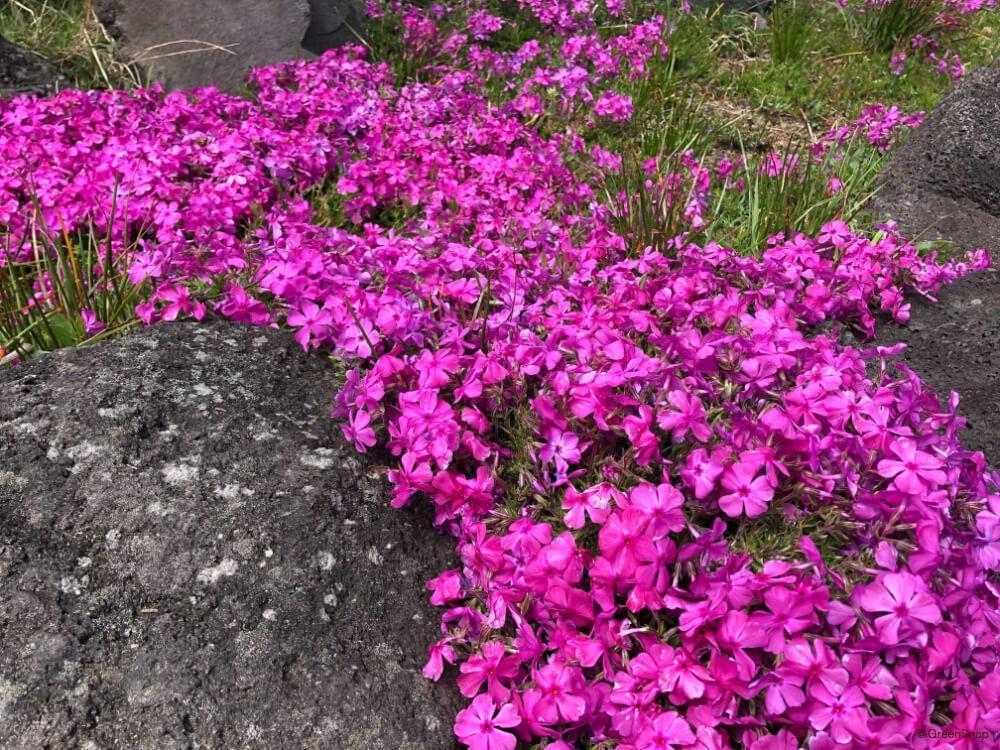 シバザクラ 芝桜