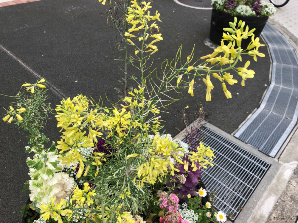 葉牡丹 ハボタン 花