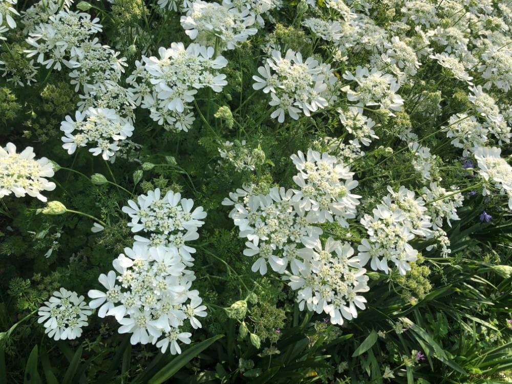 オルレア 白い花