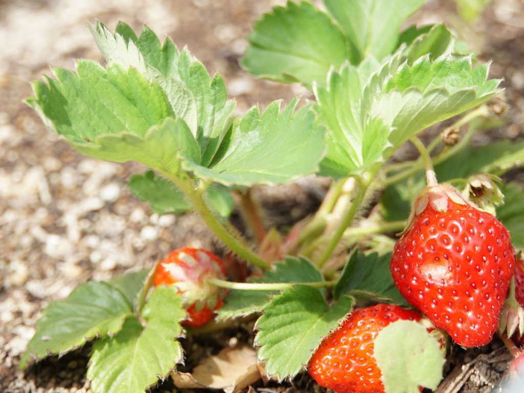 イチゴ 苺