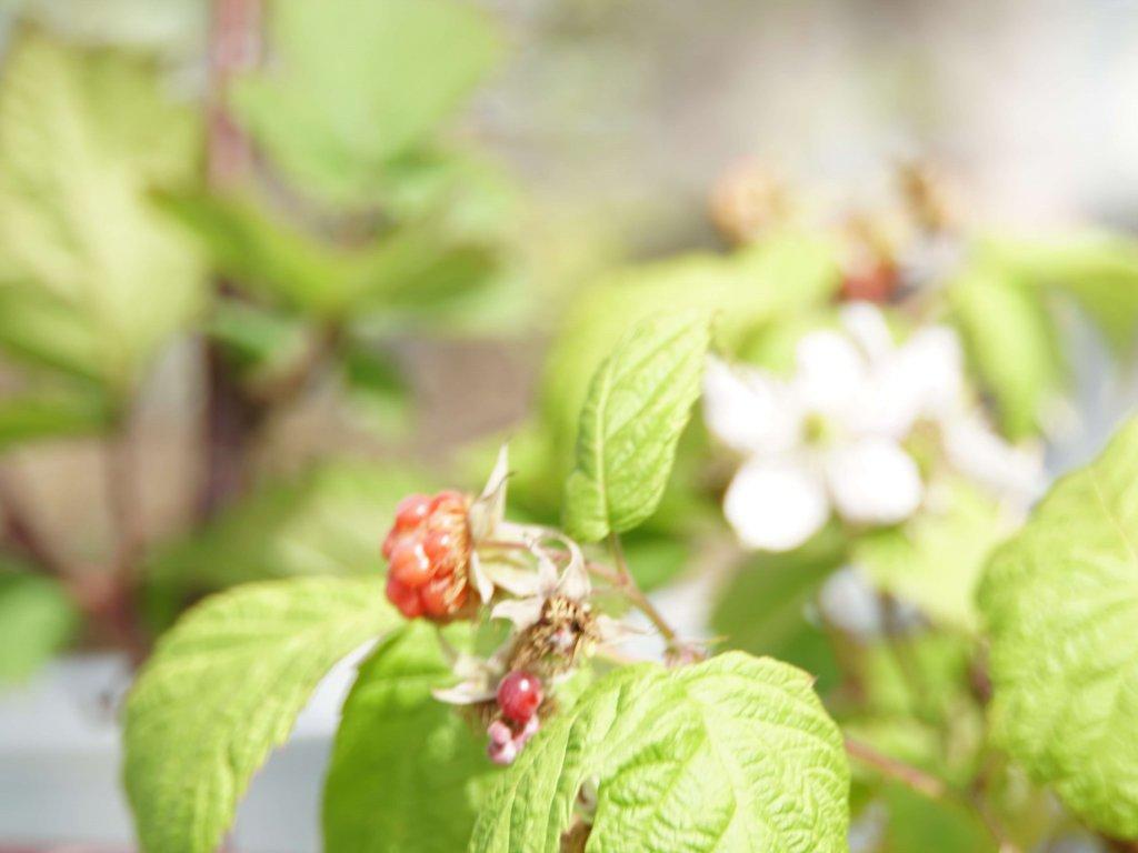 キイチゴ 木苺 ラズベリー