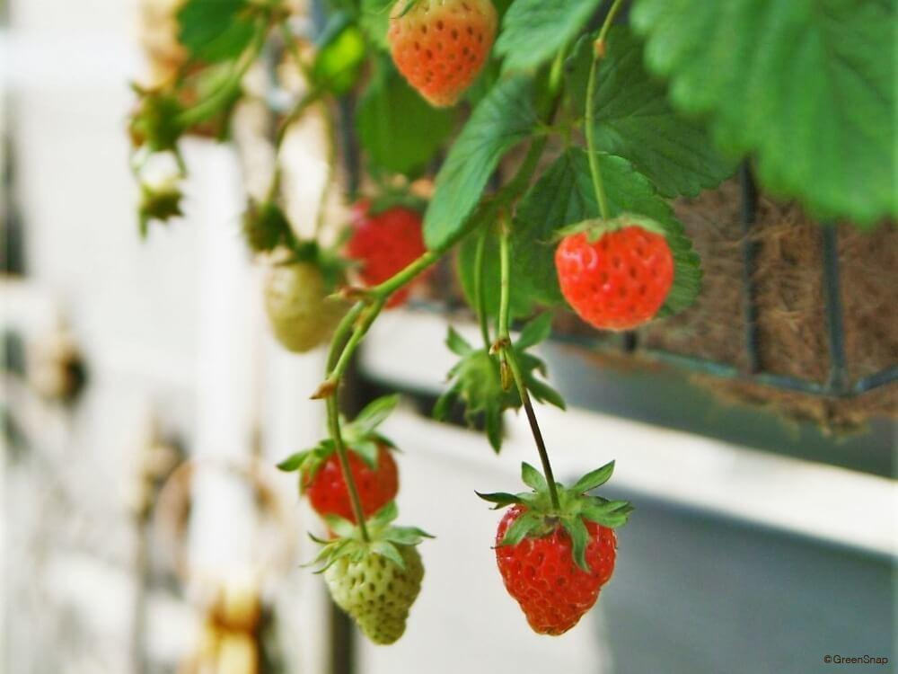 イチゴ 苺 果実