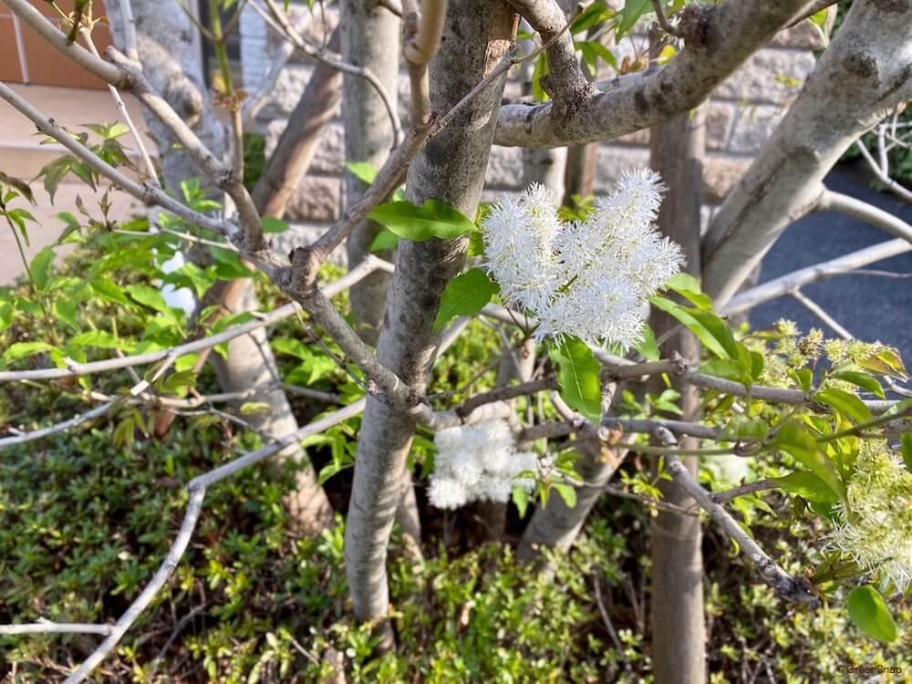 シマトネリコ 花