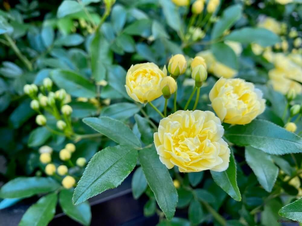 モッコウバラ 木香薔薇