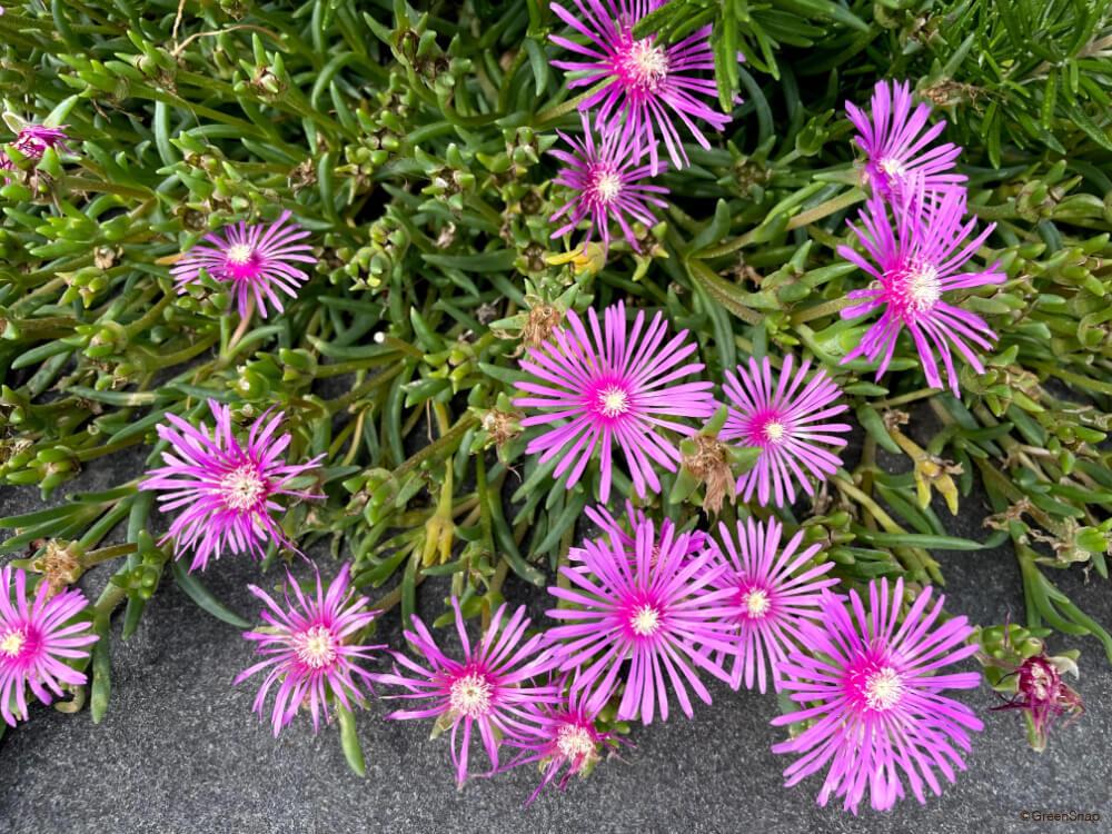 マツバギク 松葉菊
