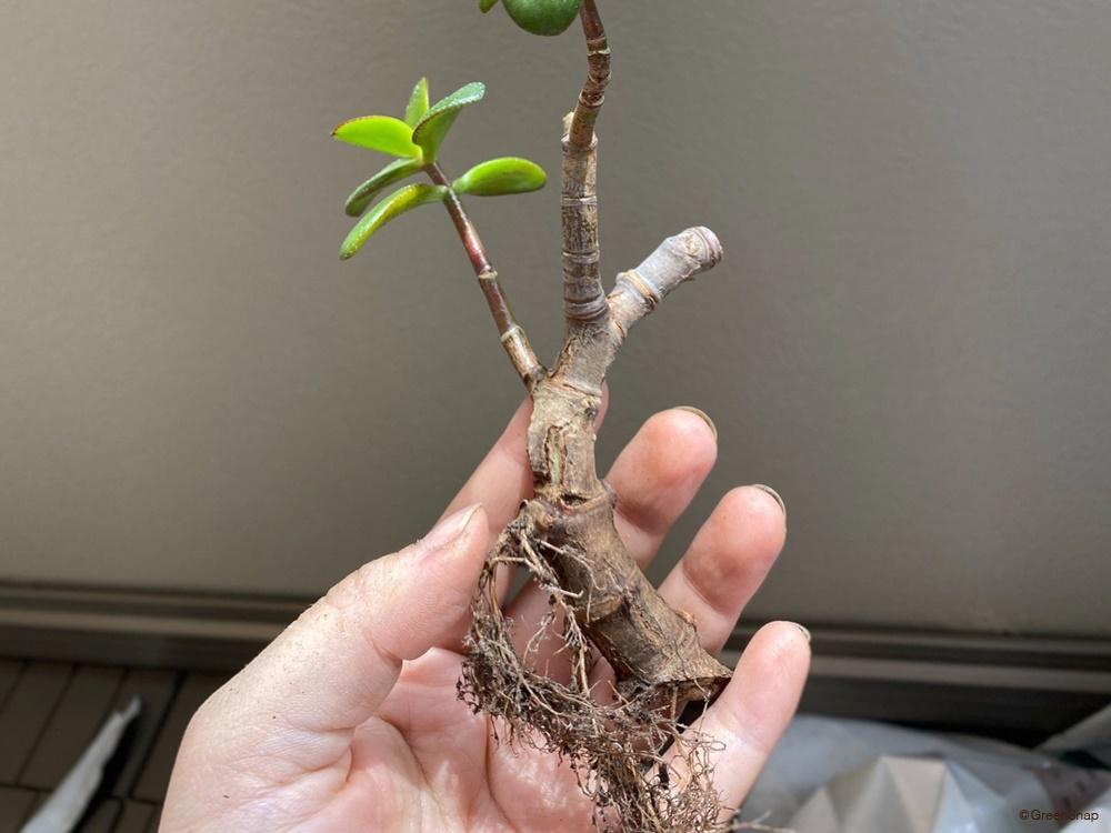 金のなる木 植え替え