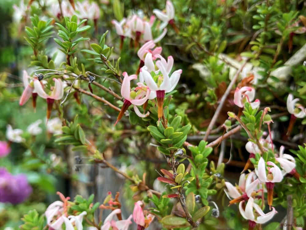 クランベリー 花