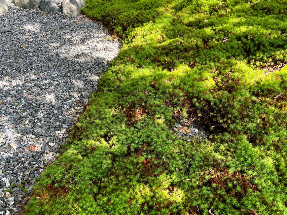 スナゴケ 砂苔