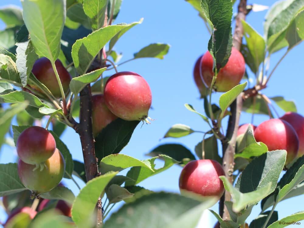 ヒメリンゴ 姫りんご