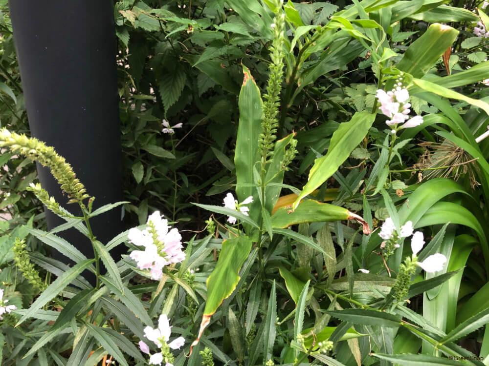 ハナトラノオ 花虎の尾