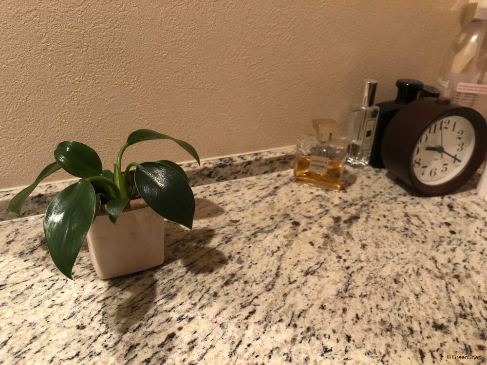フィロデンドロン トイレ 観葉植物