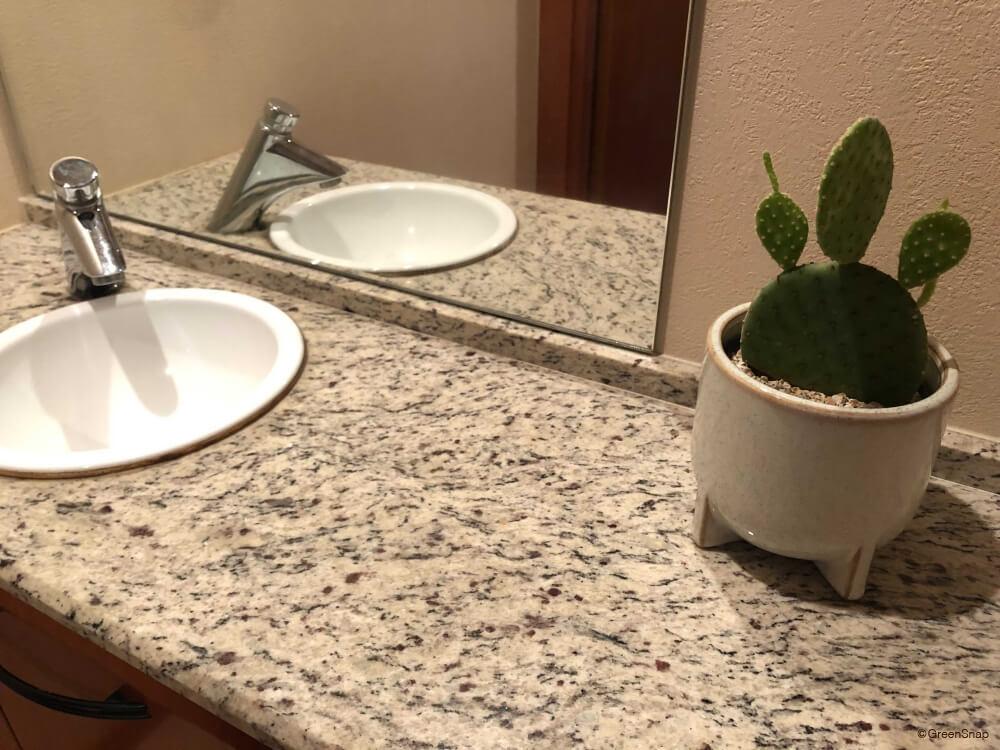 ウチワサボテン トイレ 観葉植物