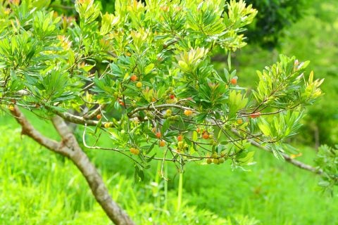 ヤマモモ 庭木